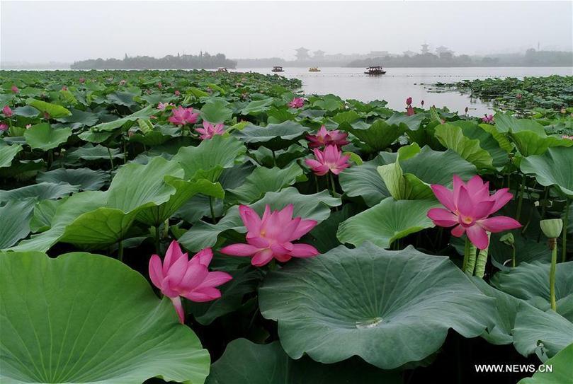Нанху цэцэрлэгт хүрээлэнгийн бадамлянхуа цэцэг
