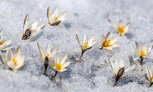 Мөс цаснаа ургасан хээрийн Лили
