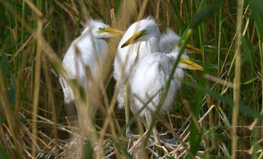 Шиньжянгийн Бостнуурын хавиар хээрийн шувууд олшров