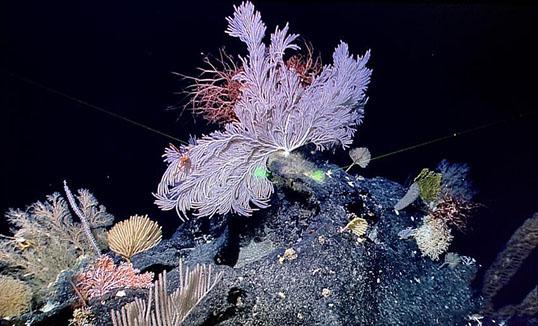 Марианагийн далайн судгаас олон тооны шүрэн ойг илрүүлэв