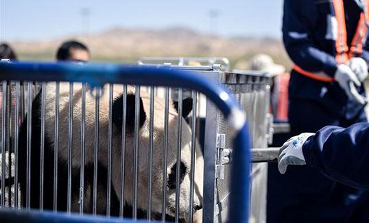 Панда өндөрлөгийн хот Шининд нутагшив