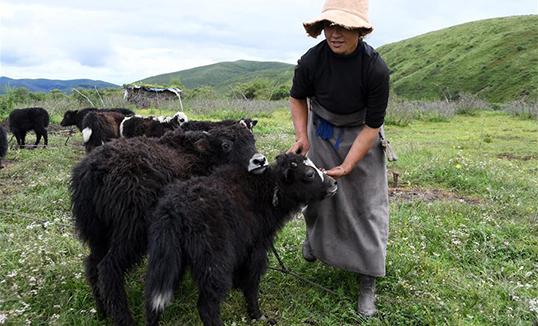 Сычуаний түвд нутгийн сарлагийн аж үйлдвэрлэл малчдын орлогыг нэмэгдүүлж бий