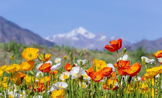 Ганьсүгийн Готай: Чиляньшань уулын хормой дахь 6666 га цэцэгийн далай